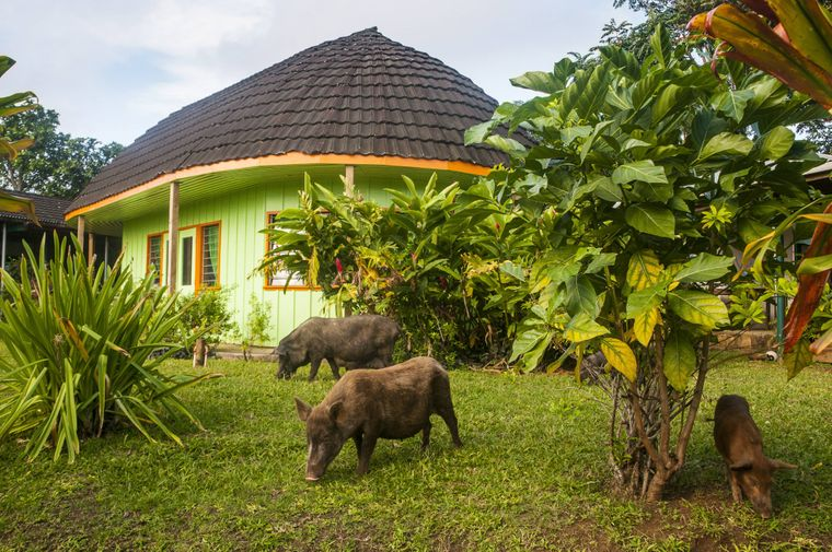 Schweine grasen vor einem traditionellen Haus auf Tonga.