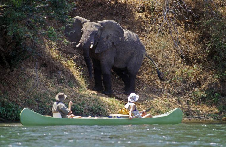 Touristen begegnen einem scheuen Elefanten am Sambesi Fluss in Simbabwe.