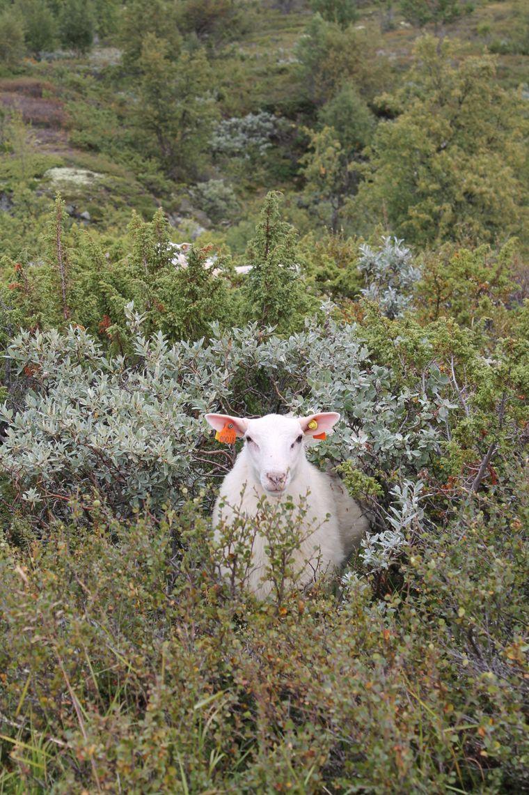 Gut versteckt im Gestrüpp auf dem Dovre Fjell weiden Schafe. Noch besser verstecken sich die Moschusochsen.