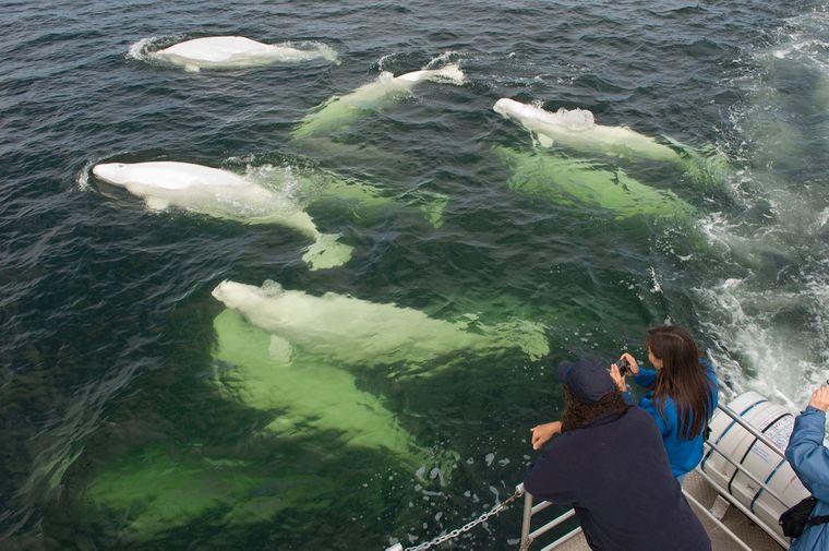 Beluga Whales Hudson Bay