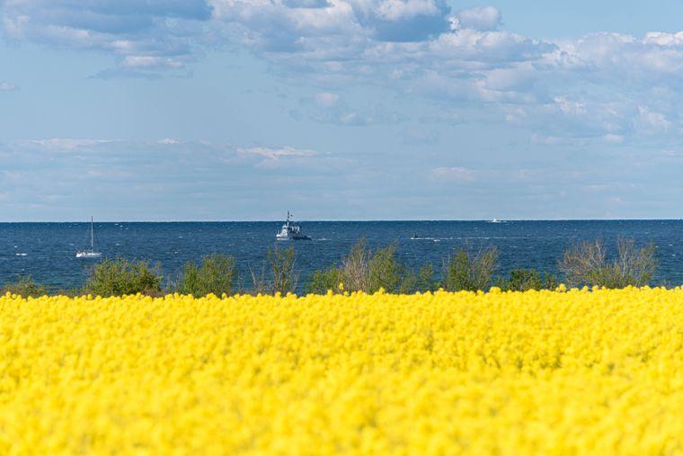 In voller Blüte steht ein Rapsfeld bei Laboe an der Ostseeküste.
