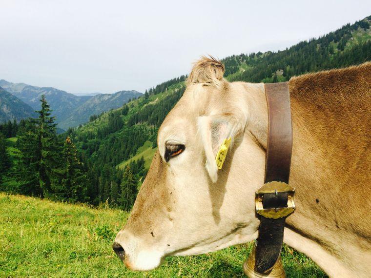 Ein Braunvieh steht auf einer Weide in Oberjoch.