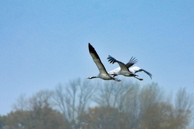 Der Rederangsee im Müritz-Nationalpark ist ein beliebtes Ziel von Zugvögeln wie diesen Kranichen.
