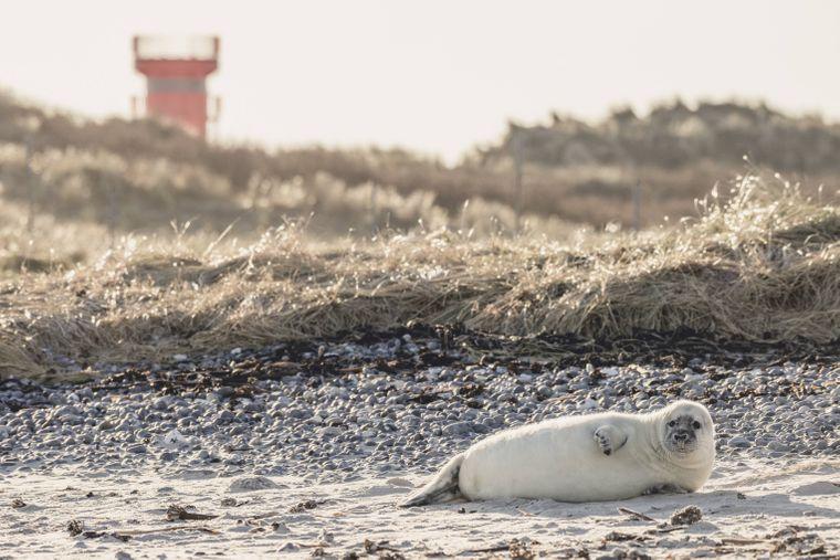 Auf der Insel Helgoland triffst du am Strand nicht selten auf Kegelrobben.
