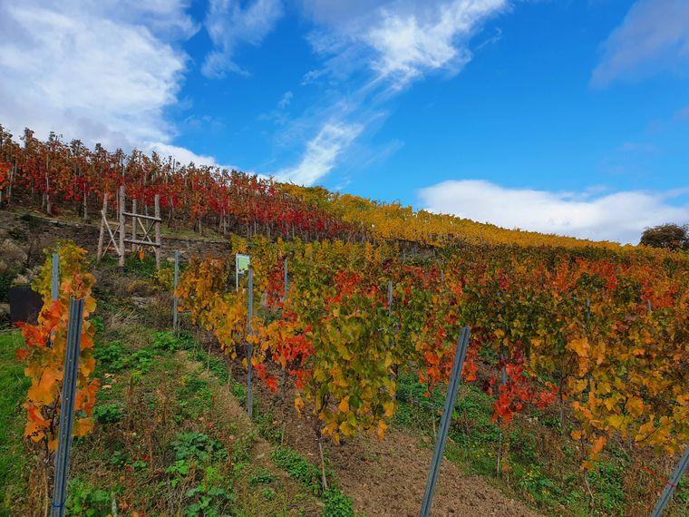 Nicht nur Buchen und Ahorn strahlen im Herbst. Auch das Weinlaub der Reben wechselt sein Kleid.