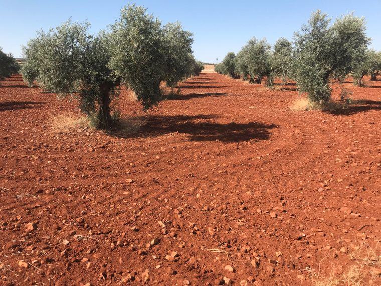 Die dünn besiedelte Landschaft der Mancha ist karg. Für die Millionen von Olivenbäumen scheint die Umgebung gerade richtig.
