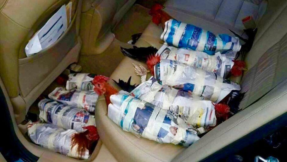 """Hühner werden auf Rücksitz eines Autos vor Hurrikan """"Irma"""" in Sicherheit gebracht."""