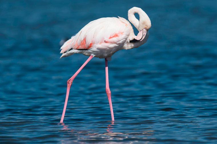 Flamingos schreiten in die Fluten.