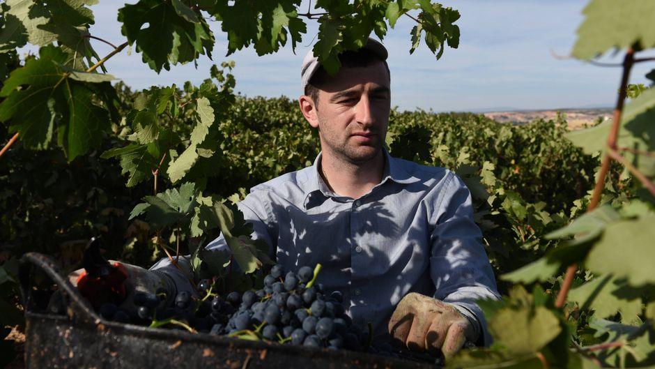 """Ein Mann in Kastilien-Léon bei der Weinlese auf der Weinroute """"Ribera del Duero""""."""
