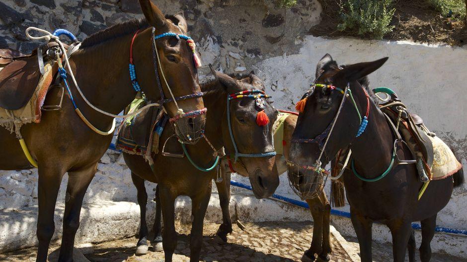 Drei Esel in Thira auf der Insel Santorin, Kykladen, Griechenland.