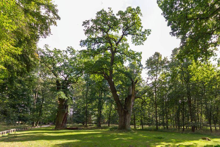 Zwei Uralteichen im Nationalen Naturmonument Park Ivenacker Eichen bei Reuterstadt Stavenhagen mit teilweise abgebrochener Baumkrone.