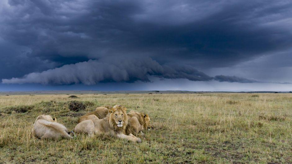 Eine Gruppe von Löwen im Gewitter in der Masai Mara in Kenia.