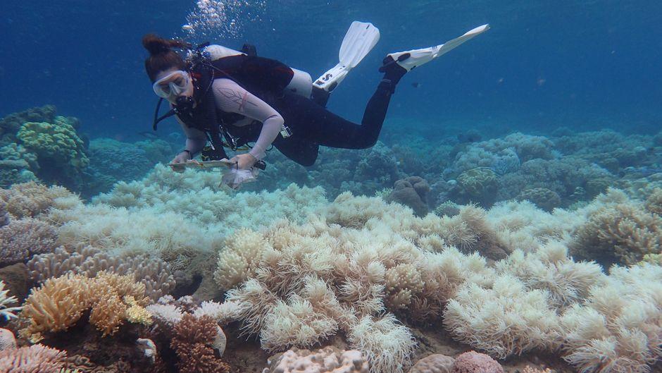 Viele Korallen verlieren durch die Bleiche ihre Farbe und könnten bald sterben.