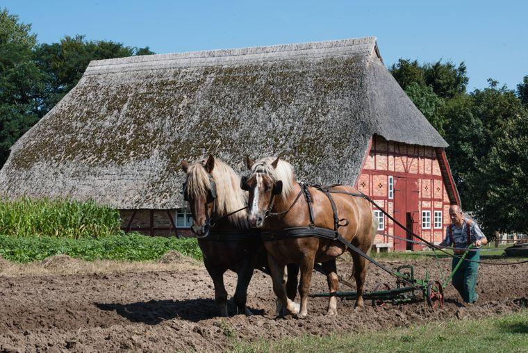 Bei einer Schauvorführung ziehen zwei Pferde den Pflug über das Feld im Freilichtmuseum Klockenhagen.