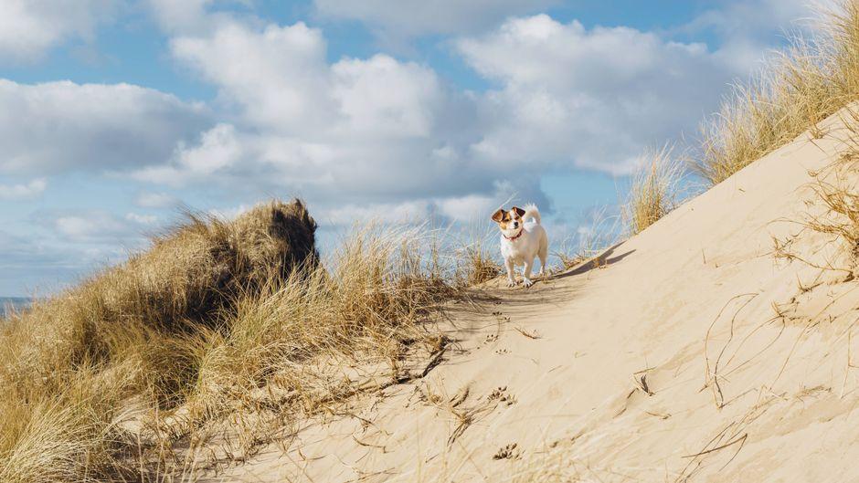 Ein Hund steht auf einer Düne am Meer in Dänemark