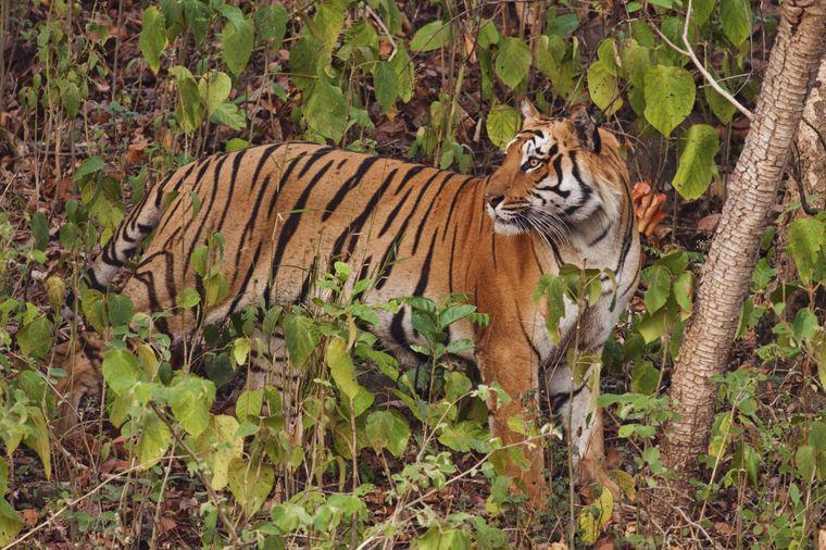 Der Bengalische Tiger im Corbett-Nationalpark.