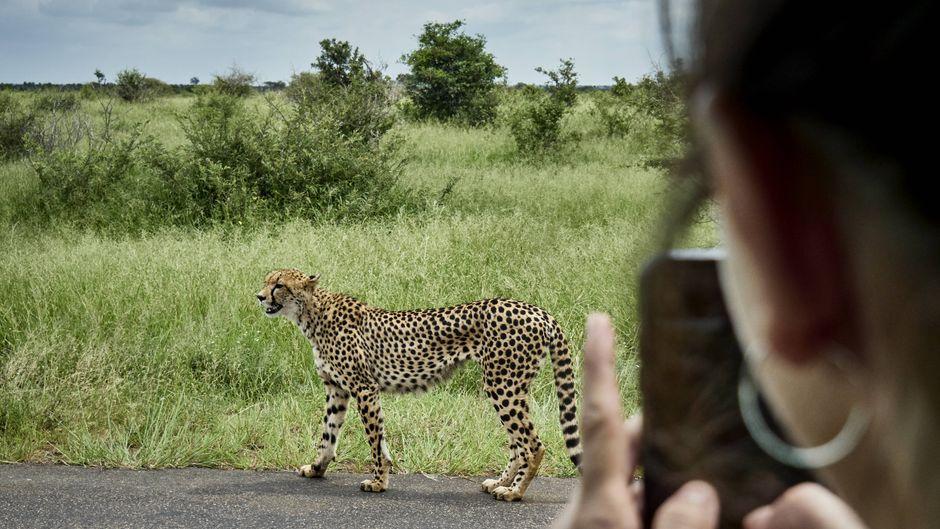 Eine Touristin fotografiert einen Geparden im Kruger-Nationalpark in Südafrika.