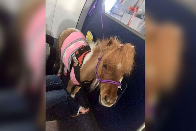Dieses Pony ist das emotionale Begleittier eines Passagieres an Bord eines Flugzeugs.