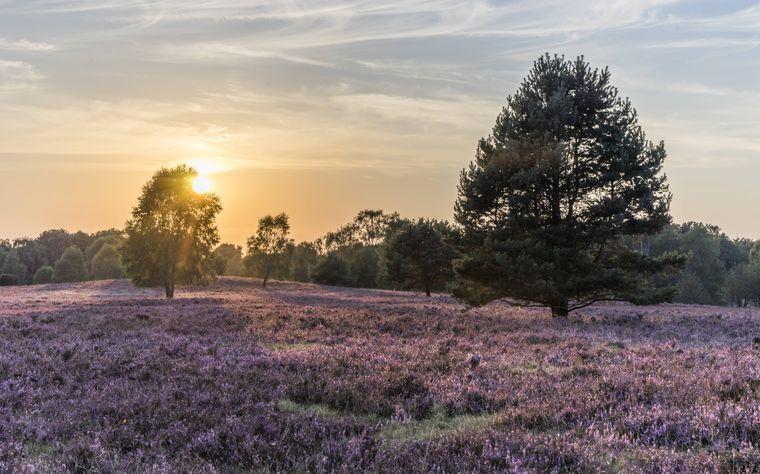 Blühendes Heidekraut Lüneburger Heide in Niedersachsen