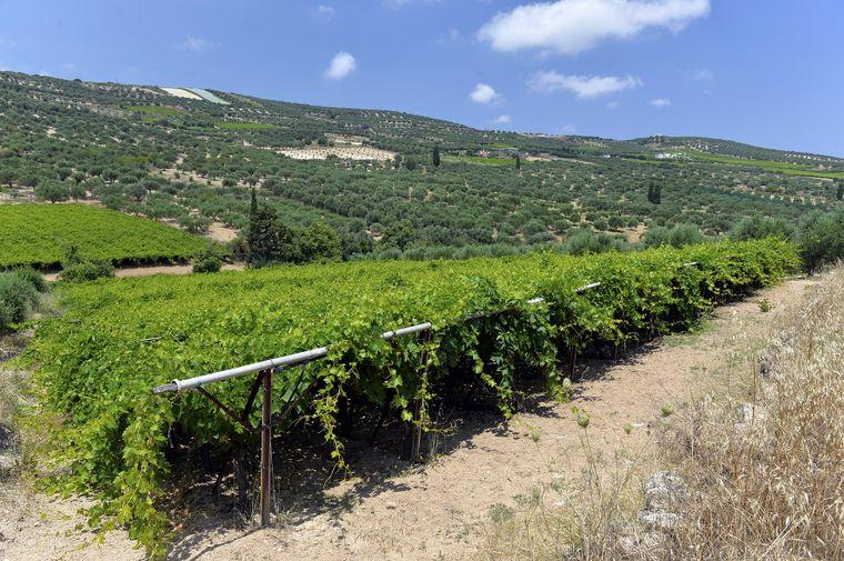Wein-Reben bei Myrtia auf Kreta.