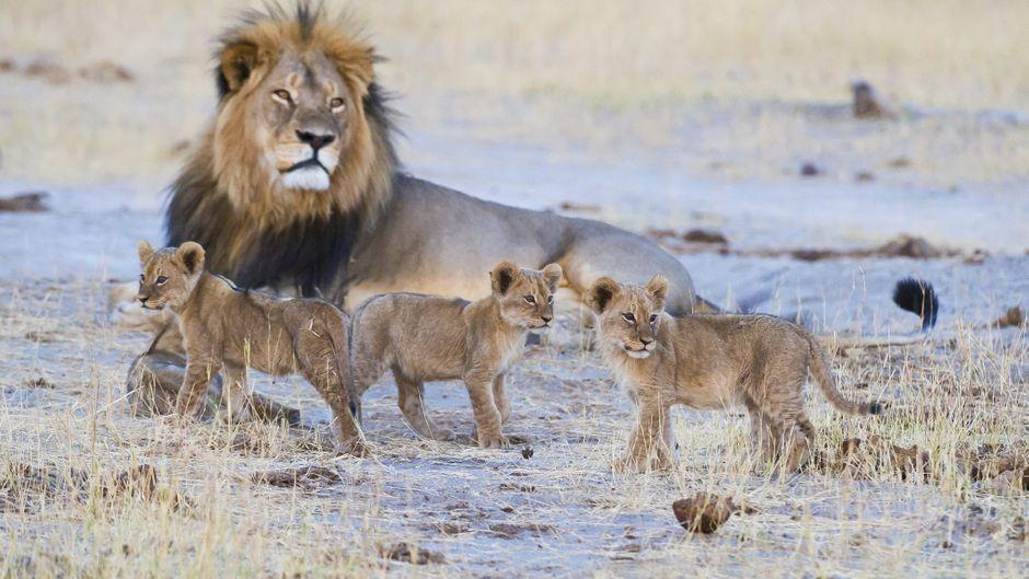 Einmal Löwen in freier Wildbahn sehen: Für viele Safari-Touristen ist das ein echtes Highlight.