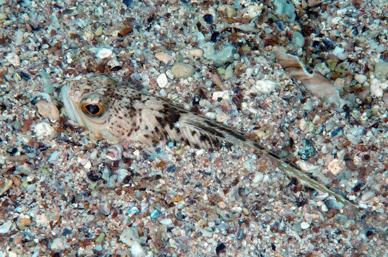 Ein gewöhnliches Petermännchen im Sand.