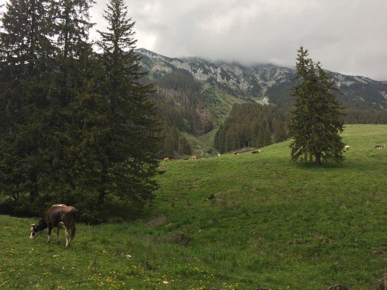 Kühe auf einer Wiese in den Karpaten bei Bran