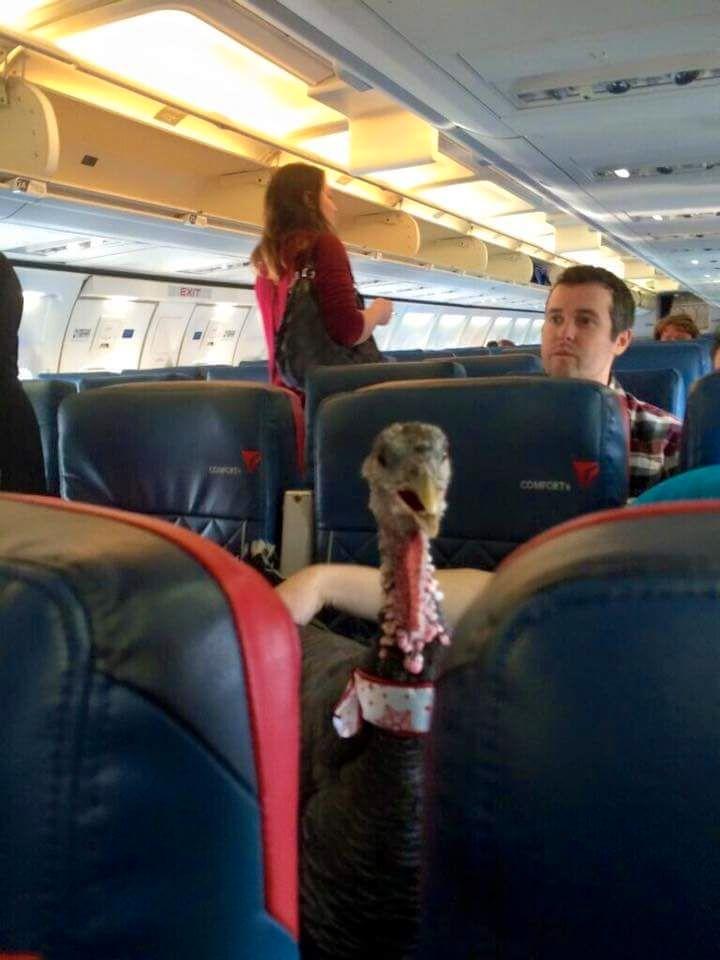 Truthahn in einem Flugzeug als Begleittier.