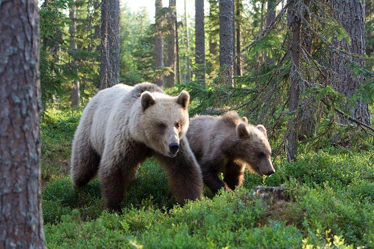 Die Gegend von Kuhmo ist gut dafür geeignet, um Bären zu beobachten. Das Boreal Wildlife Centre vermietet Verstecke, von denen aus das besonders gut möglich ist.