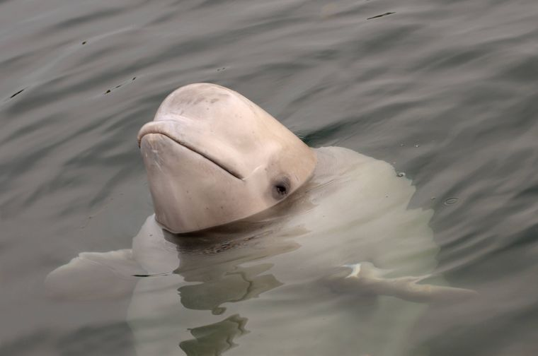 Ein Belugawal.