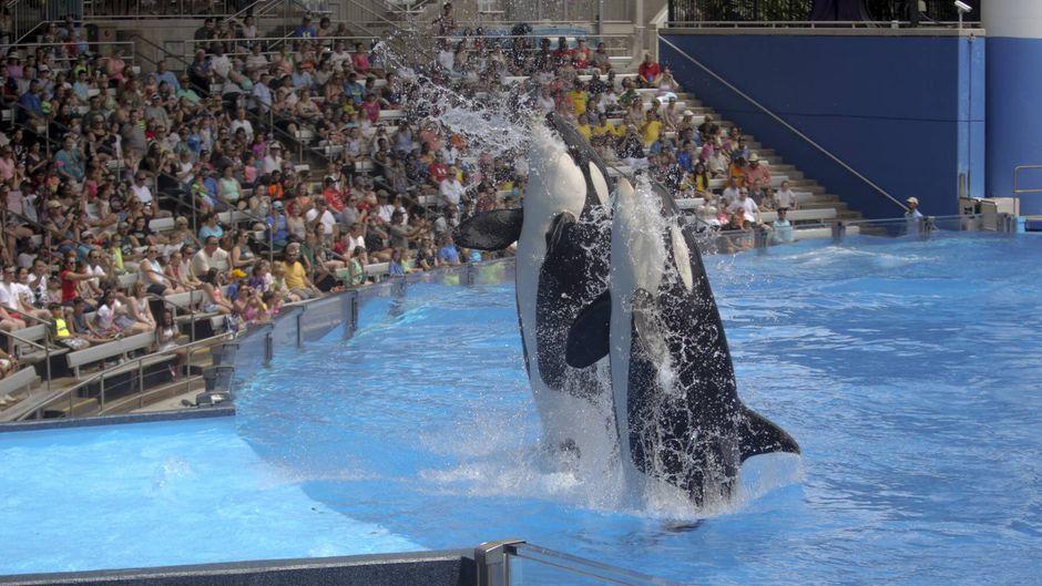 Eine Orca-Shows in den Seaworld-Parks: Tierschutzrechlich okay oder nicht? Tierschützer raten vom Besuch ab und Thomas Cook hat die Shows aus dem Progamm genommen.