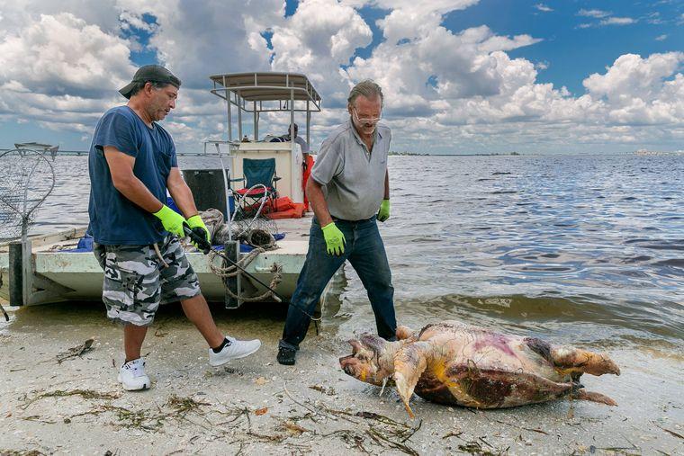 Neben Millionen toten Fischen finden Helfer immer wieder auch tote Schildkröten und andere Meerestiere an den Stränden.