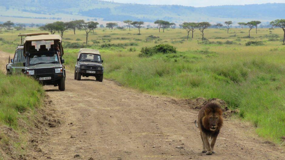 Wenn der Löwe vorbei will, müssen die Safariautos Platz machen. Dieses männliche Tier hat sich gerade den Bauch vollgeschlagen.