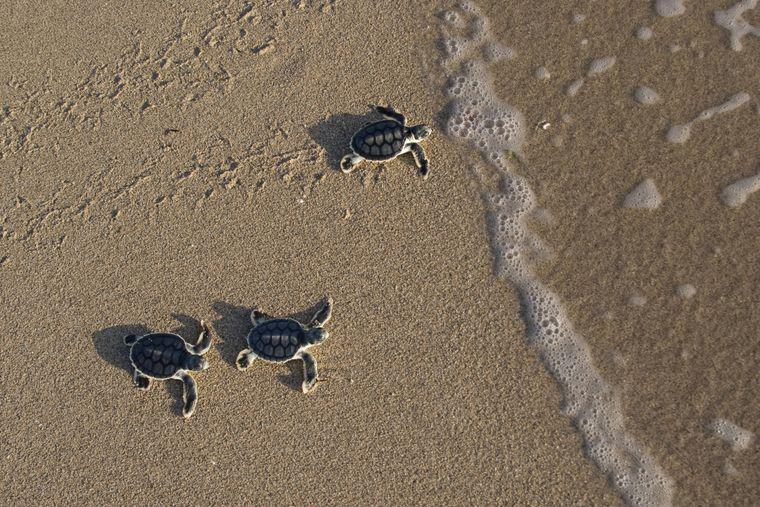 Baby-Schildkröten machen sich nach dem Schlüpfen direkt auf Richtung Meer.