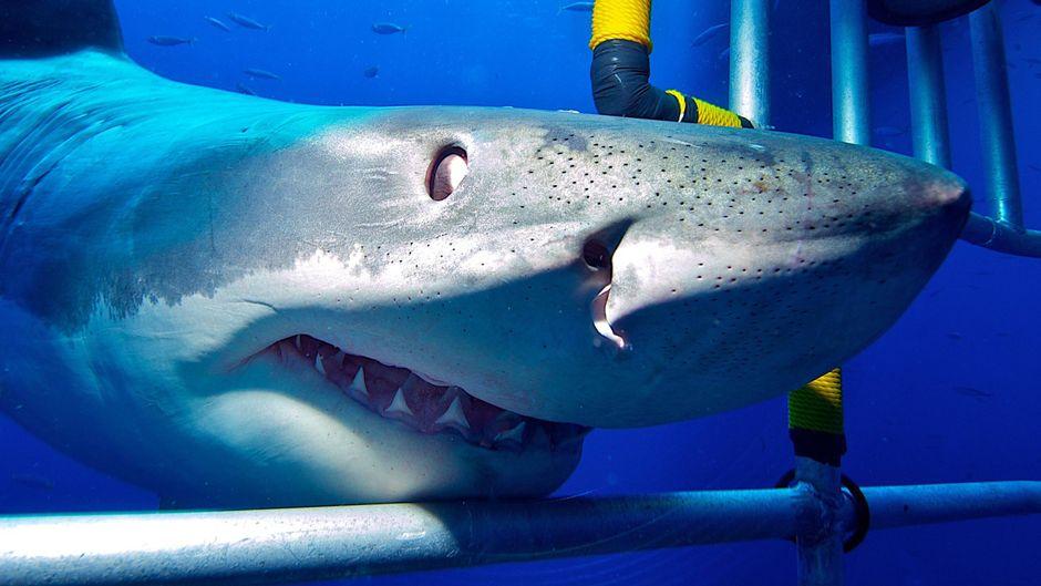 Ein Weißer Hai an einem Taucherkäfig.