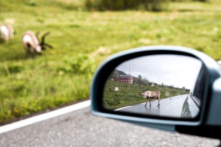 Rentiere kreuzen die Straße und grasen am Wegesrand bei Tromsø.