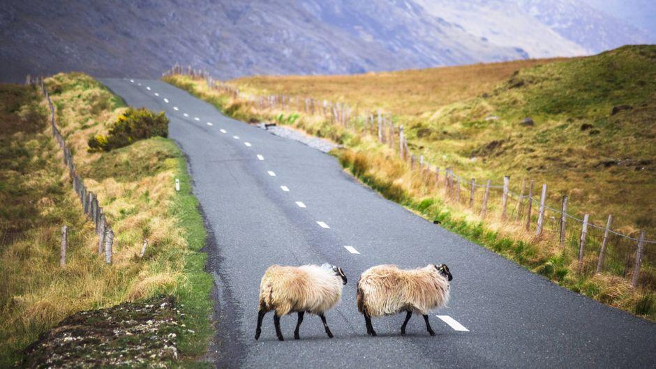 Schafe überqueren eine Straße in Connemara in Irland