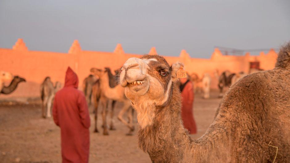 Für ein gutes Kamel könntest du in Marokko bis zu 2.000 Euro ausgeben.