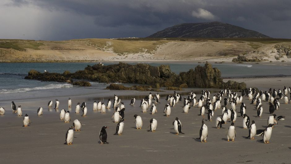 Rotschnabelpinguine (Pygoscelis papua) am Strand von Pebble Island auf den Falklandinseln.