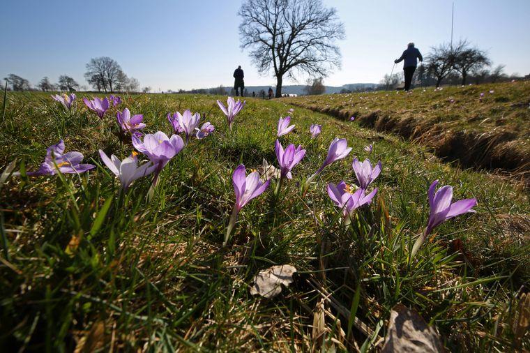 Die Krokusblüte in Zavelstein zieht jedes Jahr zahlreiche Besucher an.