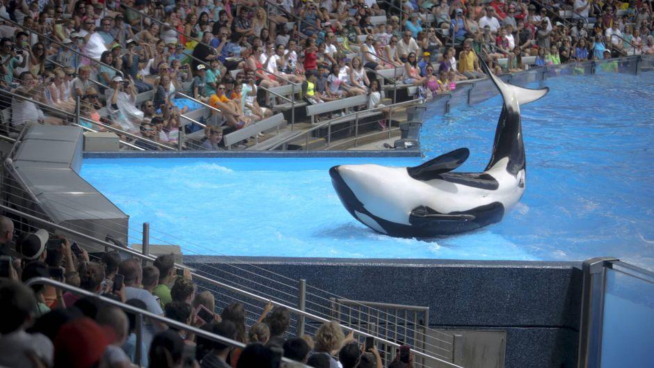 Die Orca-Shows in den Seaworld-Parks: Tierschutzrechlich okay oder nicht? Thomas Cook zieht jedenfalls die Reißleine und nimmt die Parks aus seinem Programm.
