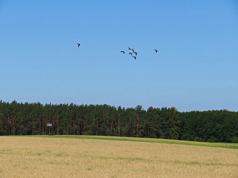 Kraniche fliegen über den Nationalpark Mecklenburgische Seenplatte.