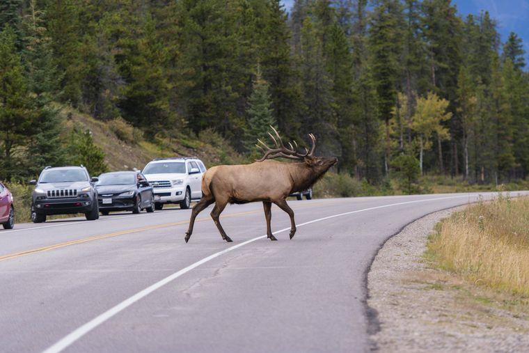 Mit ein wenig Glück siehst du im Banff-Nationalpark Waipitis.