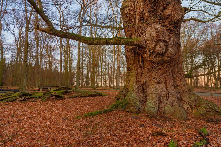 Eine circa 1000 Jahre alte Hudeeiche im Hutewald in Mecklenburg-Vorpommern erzählt die Geschichten vergangener Tage.