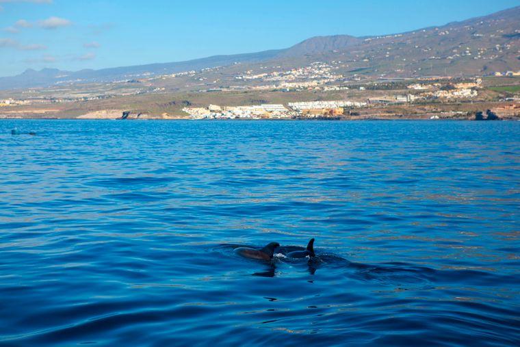 Auch Pilotwale leben vor der Küste Teneriffas.