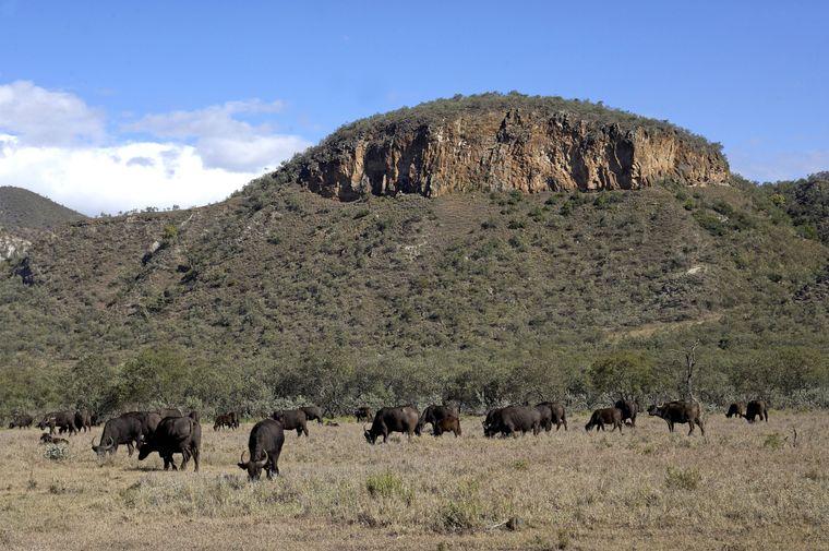Büffelherde im Hell's-Gate-Nationalpark.