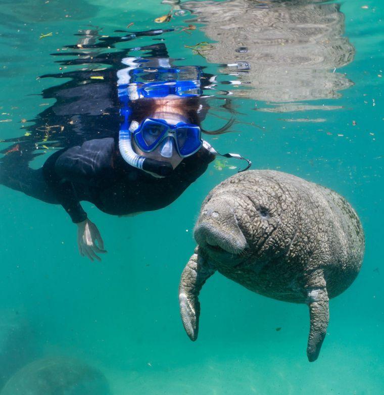 Schwimmen mit Manatis im Crystal River