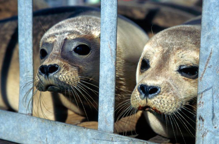 Von den Eltern verlorene oder verstoßene Seehundbabies, Heuler genannt, werden in der Seehundstation Norddeich-Norden wieder aufgepäppelt.