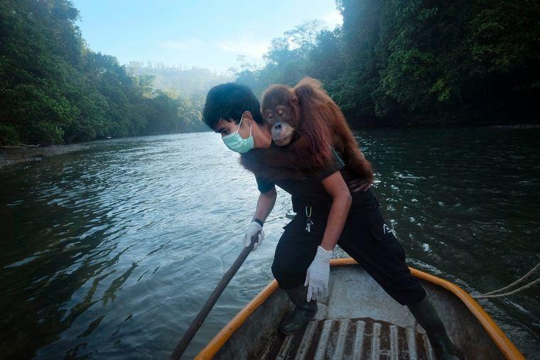 Orang-Utan in Indonesien.