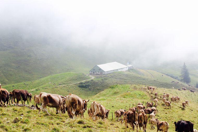 Eine Horde Braunvieh kehrt langsam zurück ins Tal.